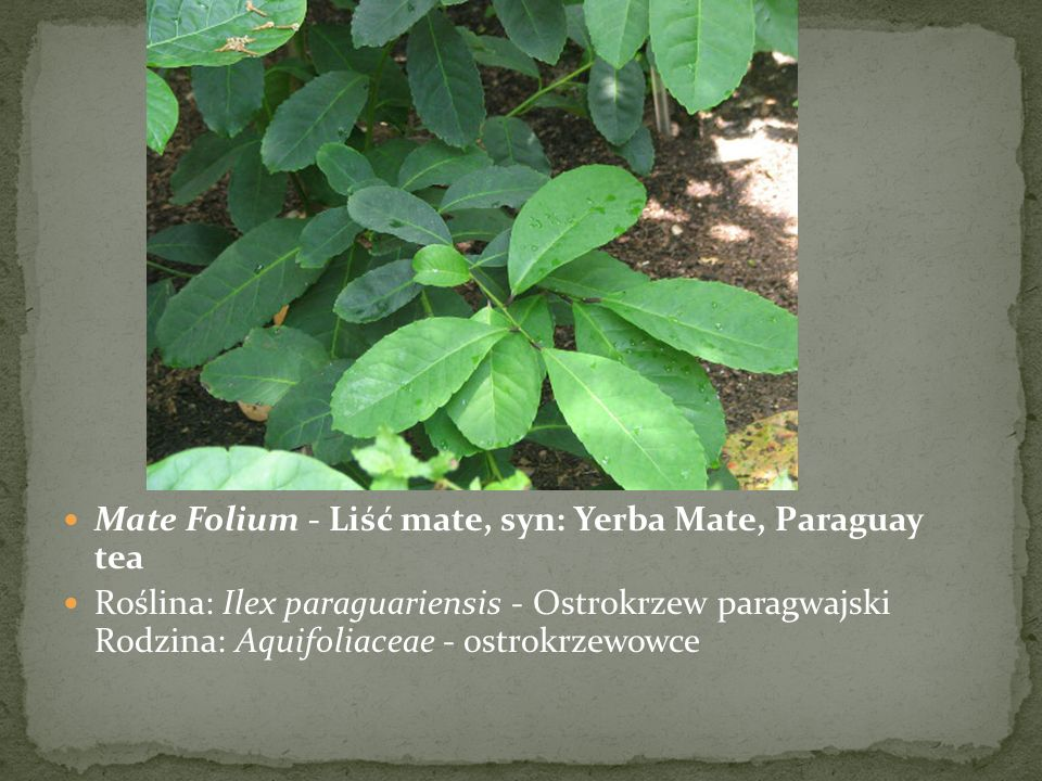 Alkaloidy purynowe Mate Folium - Liść mate, syn: Yerba Mate, Paraguay tea.