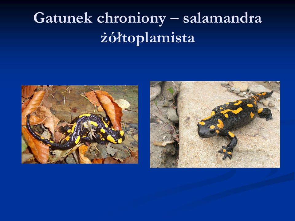 Gatunek chroniony – salamandra żółtoplamista