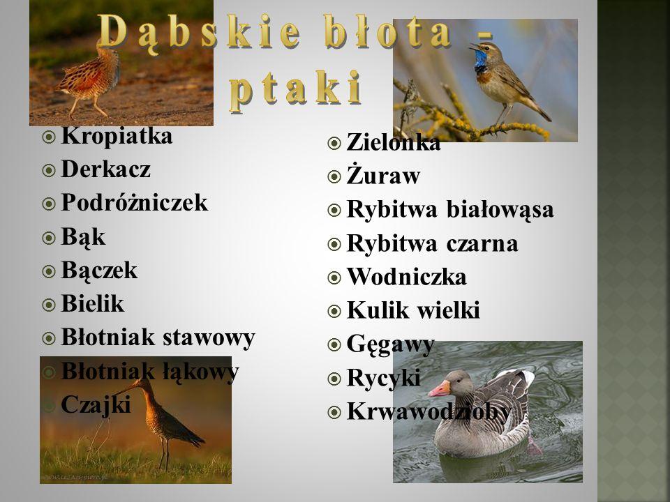 Dąbskie błota - ptaki Kropiatka Zielonka Derkacz Żuraw Podróżniczek