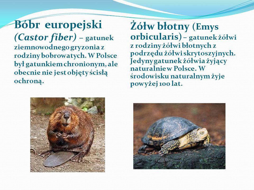 Żółw błotny (Emys orbicularis) – gatunek żółwi z rodziny żółwi błotnych z podrzędu żółwi skrytoszyjnych. Jedyny gatunek żółwia żyjący naturalnie w Polsce. W środowisku naturalnym żyje powyżej 100 lat.