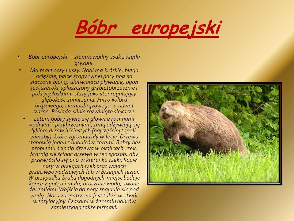 Bóbr europejski – ziemnowodny ssak z rzędu gryzoni.