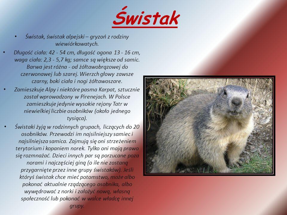 Świstak, świstak alpejski – gryzoń z rodziny wiewiórkowatych.