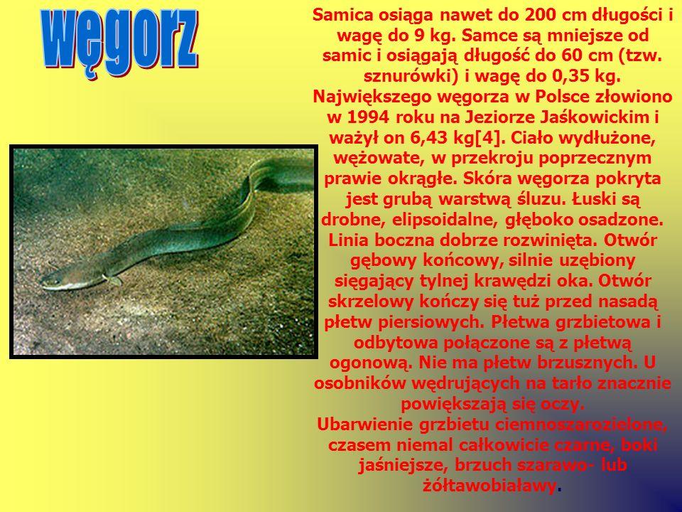 Samica osiąga nawet do 200 cm długości i wagę do 9 kg