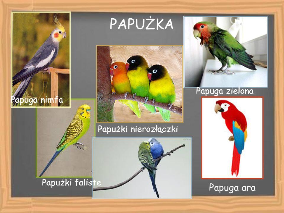 PAPUŻKA Papuga ara Papuga zielona Papuga nimfa Papużki nierozłączki