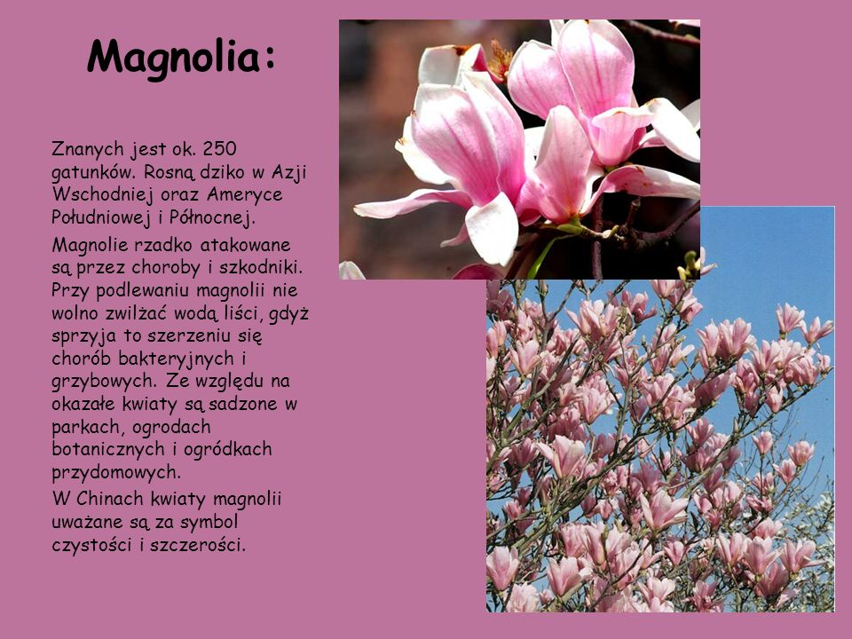 Magnolia: Znanych jest ok. 250 gatunków. Rosną dziko w Azji Wschodniej oraz Ameryce Południowej i Północnej.