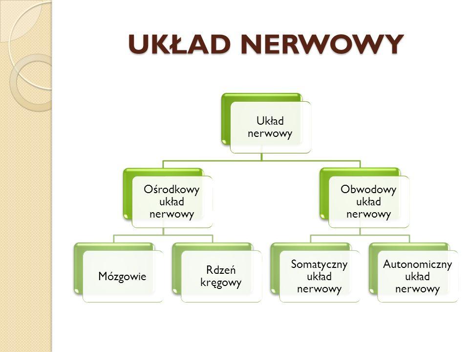UKŁAD NERWOWY Układ nerwowy Ośrodkowy układ nerwowy Mózgowie