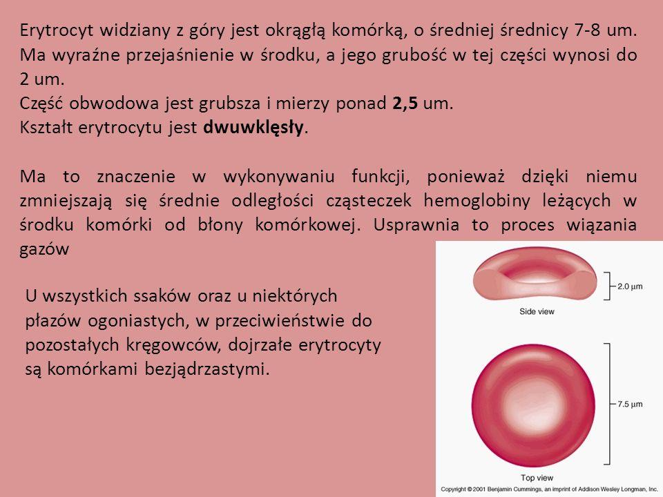 Erytrocyt widziany z góry jest okrągłą komórką, o średniej średnicy 7-8 um. Ma wyraźne przejaśnienie w środku, a jego grubość w tej części wynosi do 2 um.