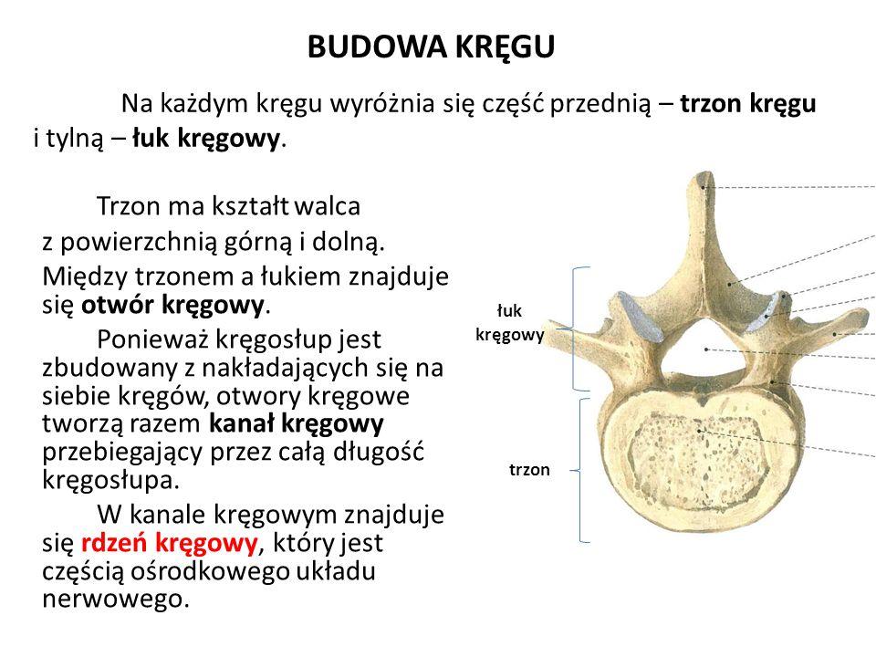 BUDOWA KRĘGU Trzon ma kształt walca i tylną – łuk kręgowy.
