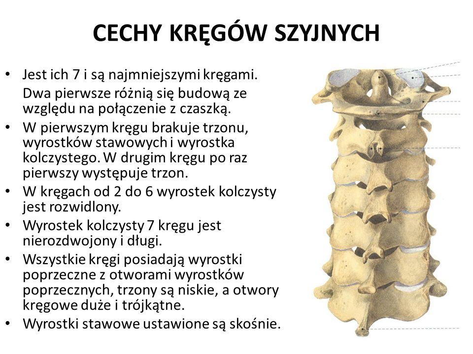CECHY KRĘGÓW SZYJNYCH Jest ich 7 i są najmniejszymi kręgami.