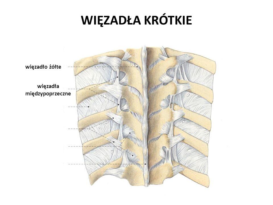 więzadła międzypoprzeczne