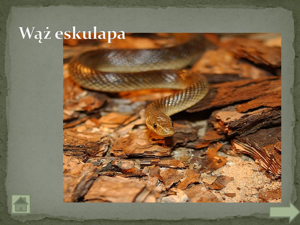 Wąż eskulapa