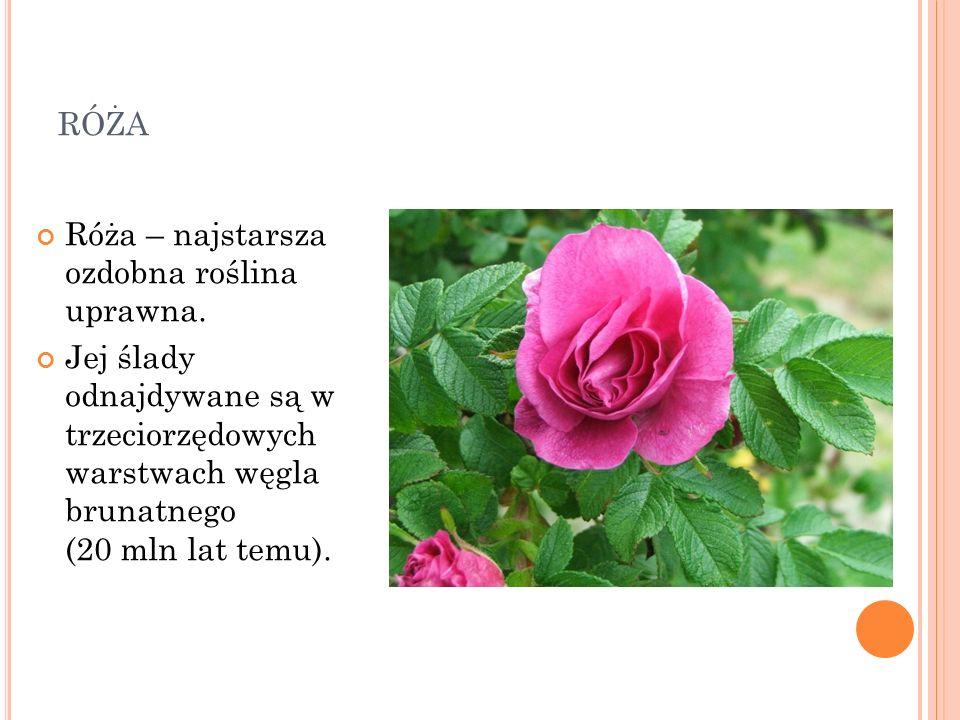 róża Róża – najstarsza ozdobna roślina uprawna.