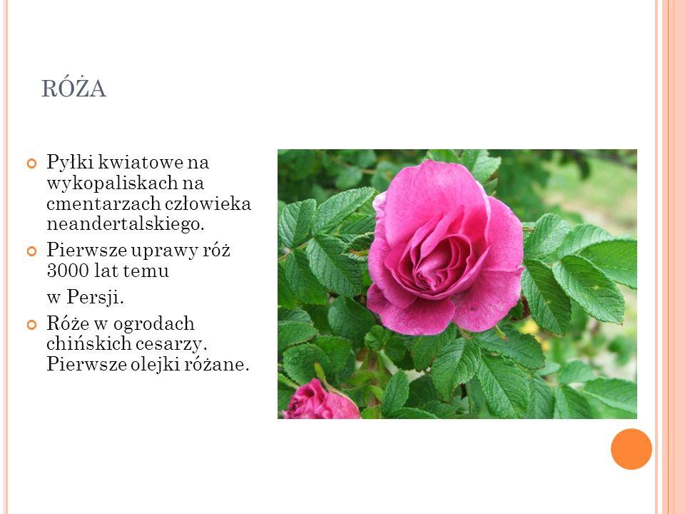 róża Pyłki kwiatowe na wykopaliskach na cmentarzach człowieka neandertalskiego. Pierwsze uprawy róż 3000 lat temu.