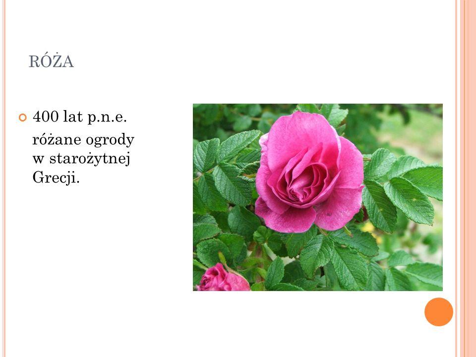 róża 400 lat p.n.e. różane ogrody w starożytnej Grecji.