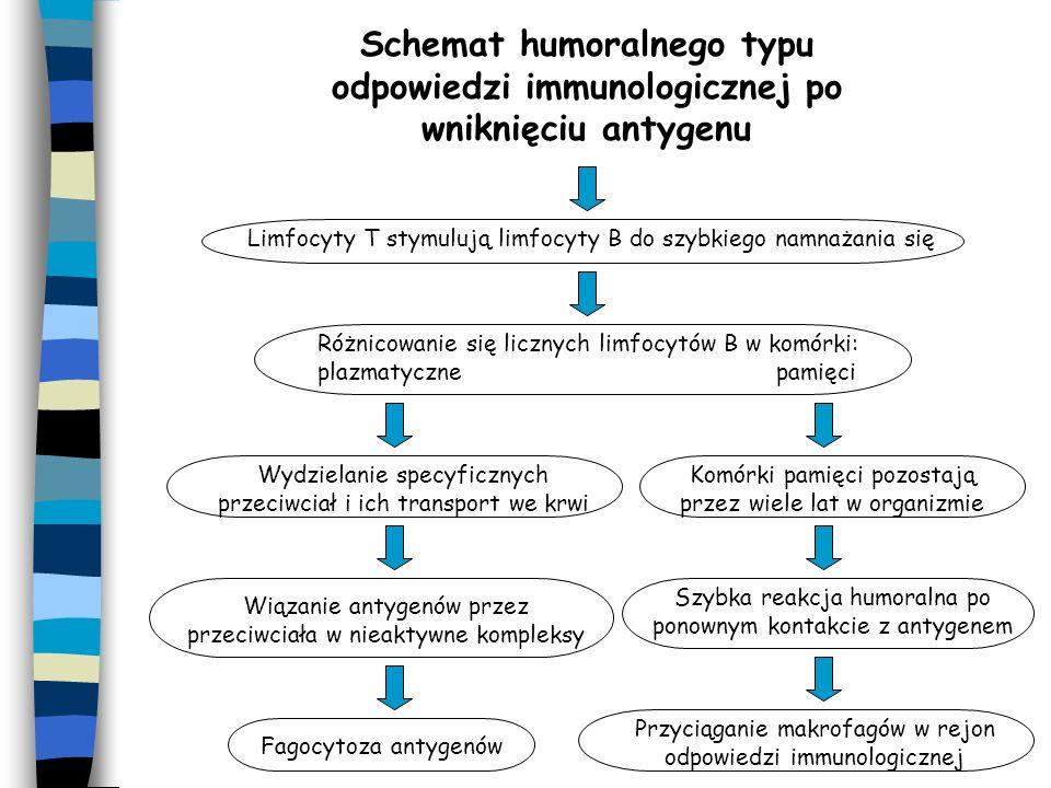 Schemat humoralnego typu odpowiedzi immunologicznej po wniknięciu antygenu