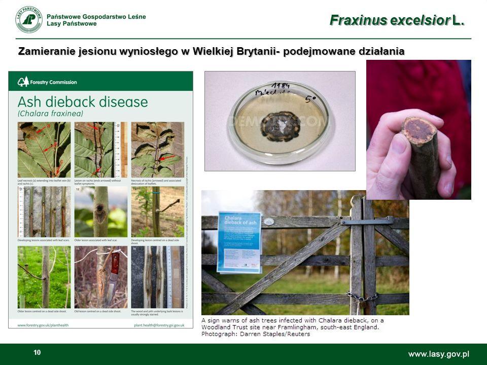 Fraxinus excelsior L. Zamieranie jesionu wyniosłego w Wielkiej Brytanii- podejmowane działania