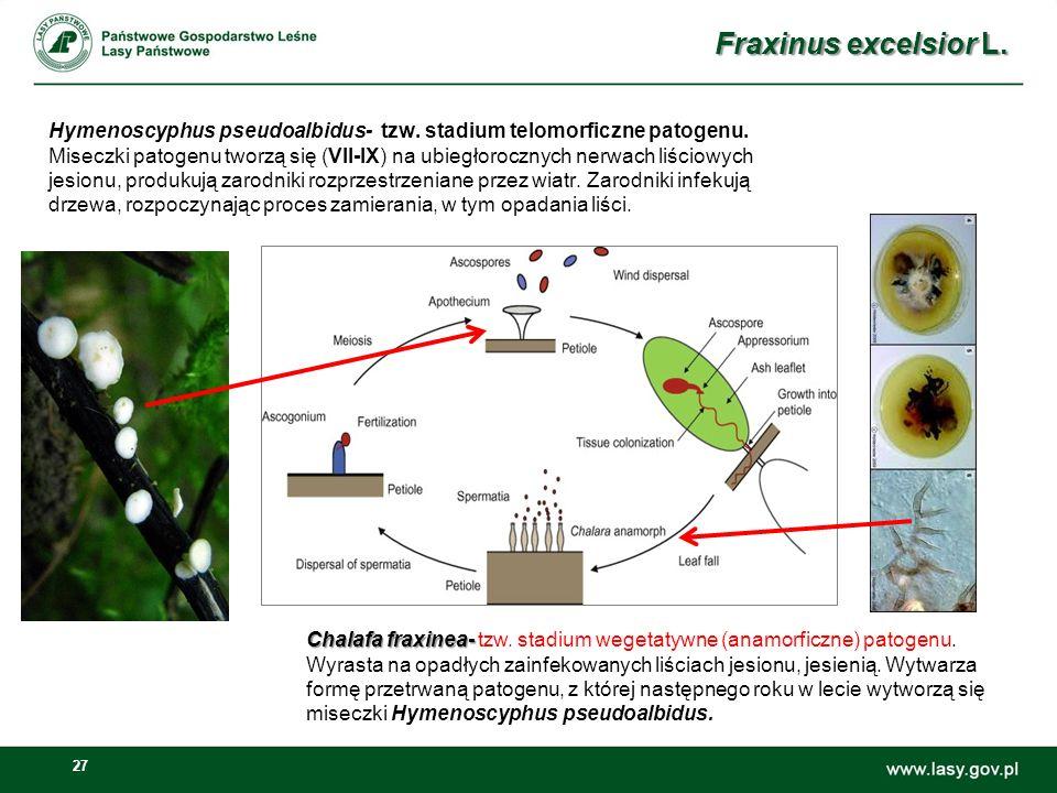 Fraxinus excelsior L.