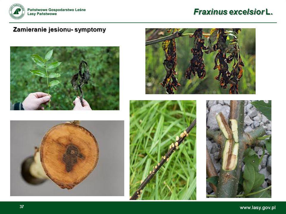 Fraxinus excelsior L. Zamieranie jesionu- symptomy
