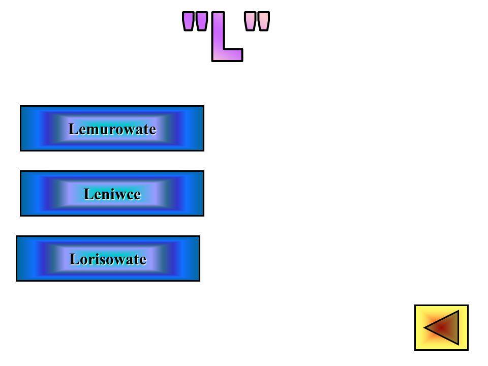 L Lemurowate Leniwce Lorisowate