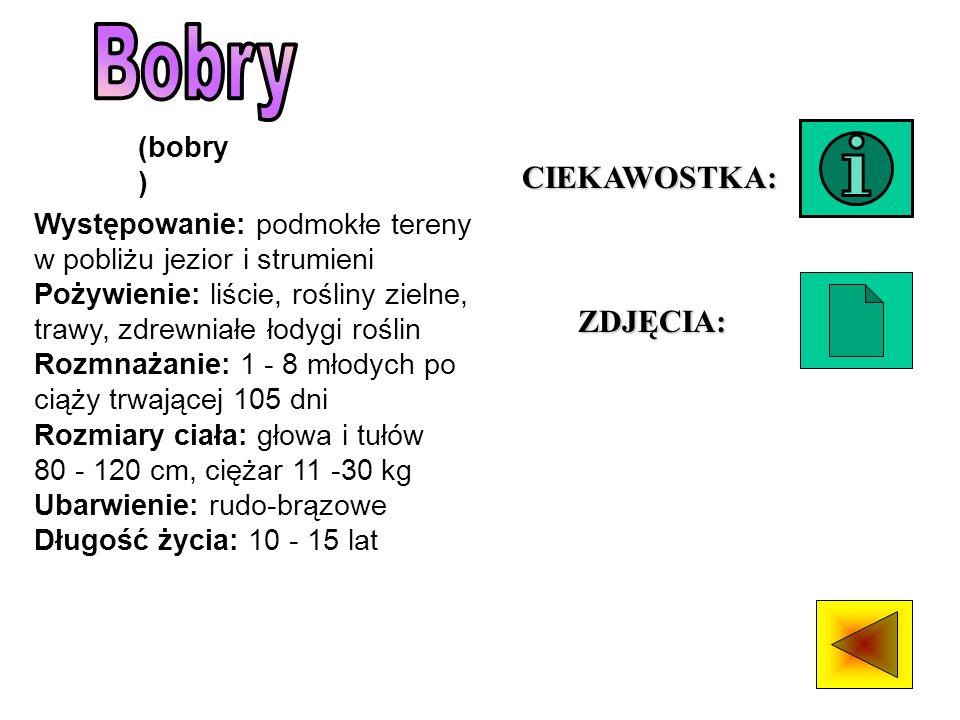 Bobry CIEKAWOSTKA: ZDJĘCIA: (bobry)