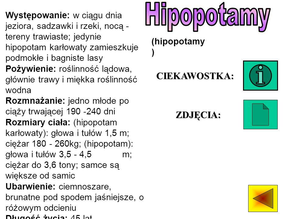 Hipopotamy CIEKAWOSTKA: ZDJĘCIA: