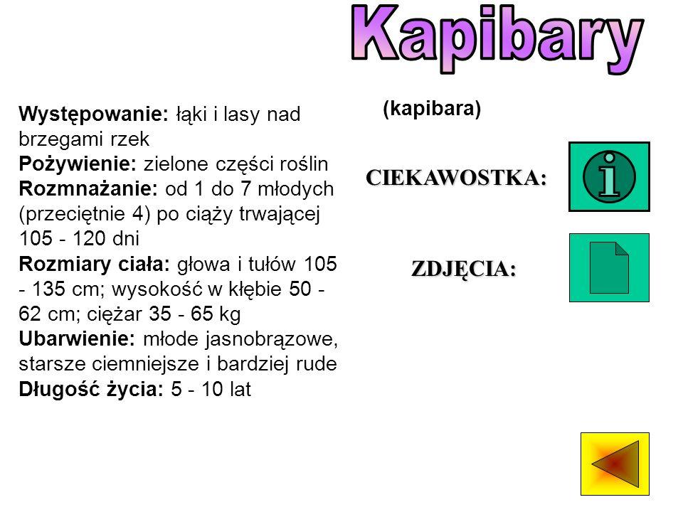 Kapibary CIEKAWOSTKA: ZDJĘCIA: (kapibara)