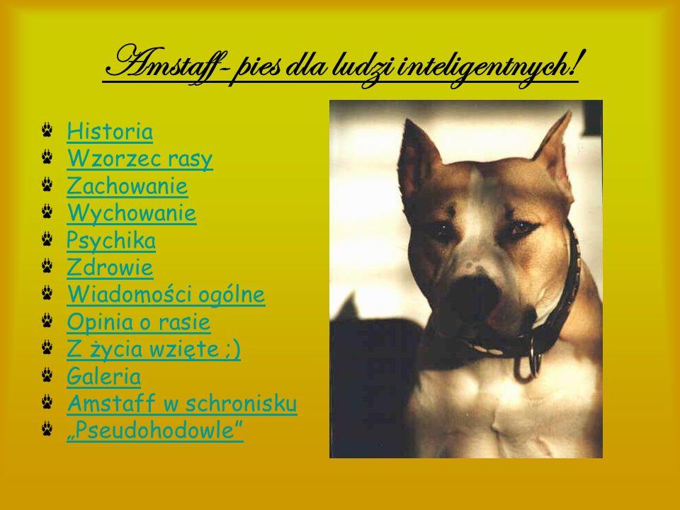 Amstaff- pies dla ludzi inteligentnych!