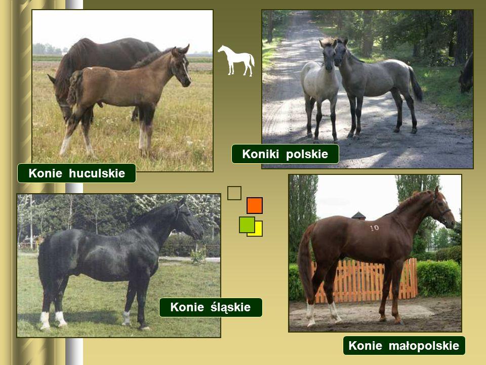 Koniki polskie Konie huculskie Konie śląskie Konie małopolskie