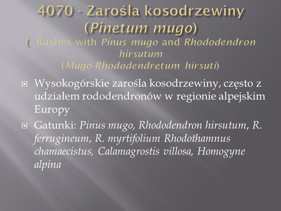 4070 - Zarośla kosodrzewiny (Pinetum mugo) (