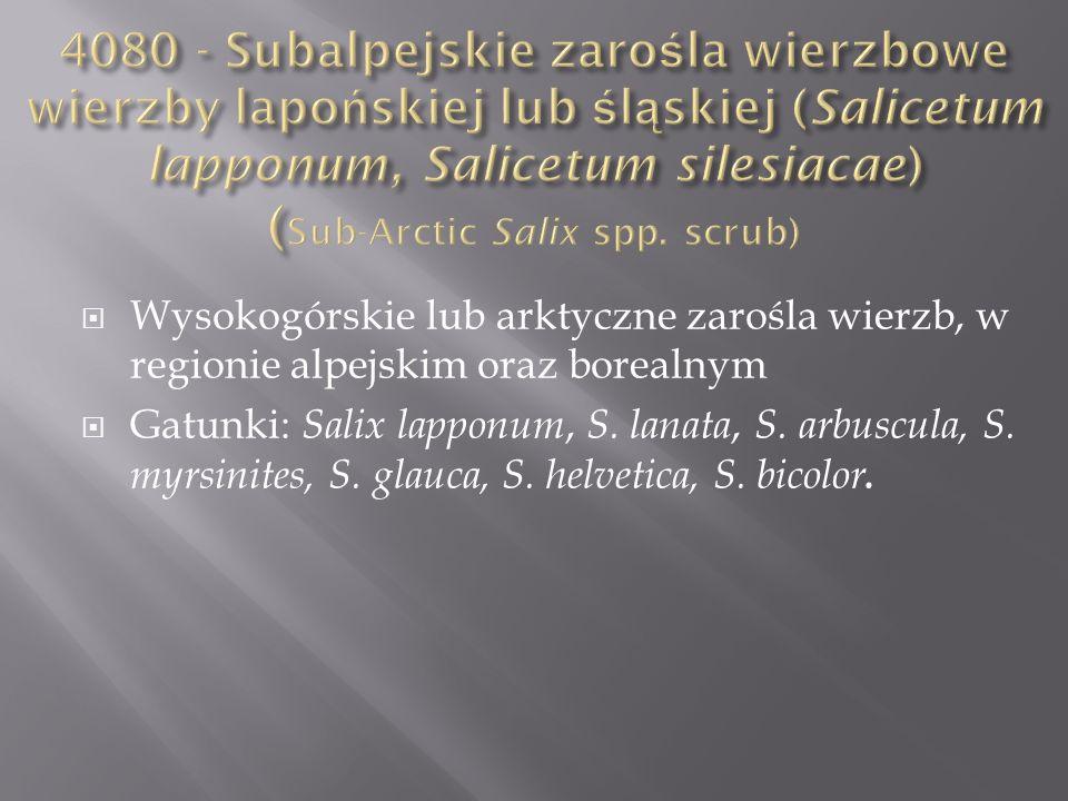 4080 - Subalpejskie zarośla wierzbowe wierzby lapońskiej lub śląskiej (Salicetum lapponum, Salicetum silesiacae) (Sub-Arctic Salix spp. scrub)