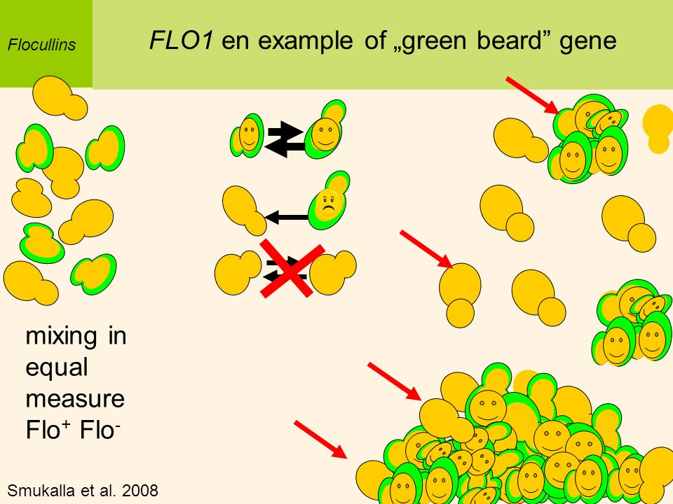 "FLO1 en example of ""green beard gene"