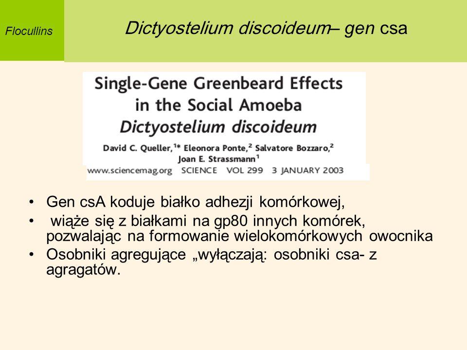Dictyostelium discoideum– gen csa