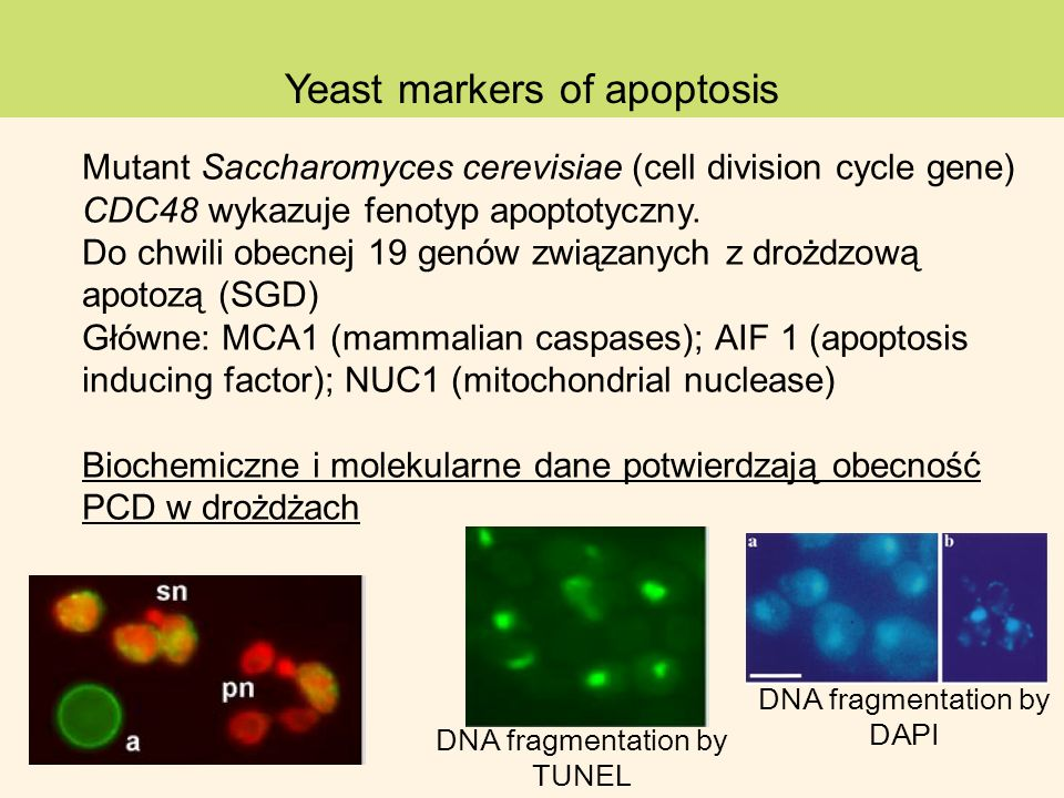 Yeast markers of apoptosis