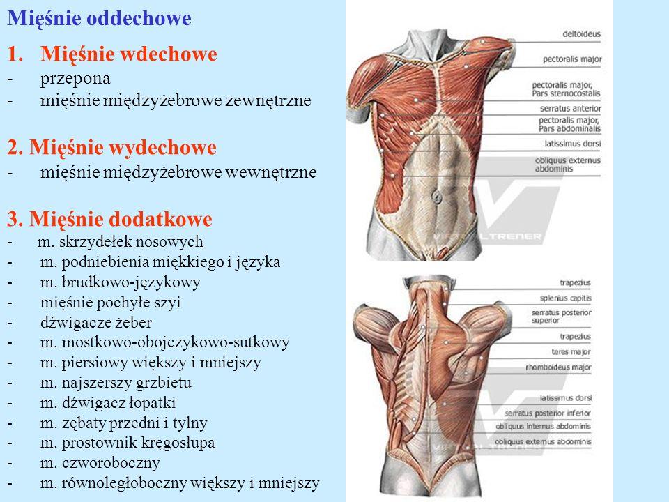 Mięśnie oddechowe Mięśnie wdechowe 2. Mięśnie wydechowe