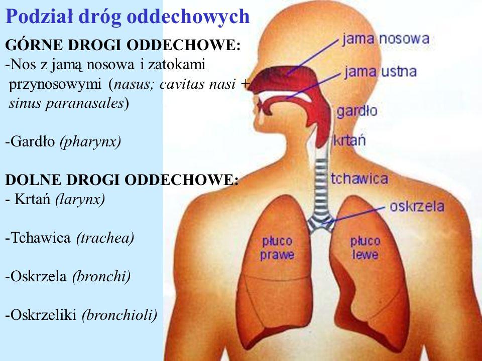 Podział dróg oddechowych