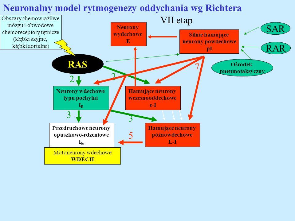 Neuronalny model rytmogenezy oddychania wg Richtera VII etap SAR
