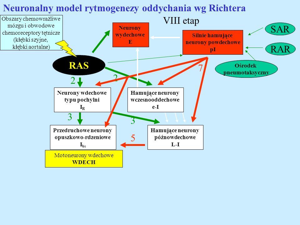 Neuronalny model rytmogenezy oddychania wg Richtera VIII etap SAR