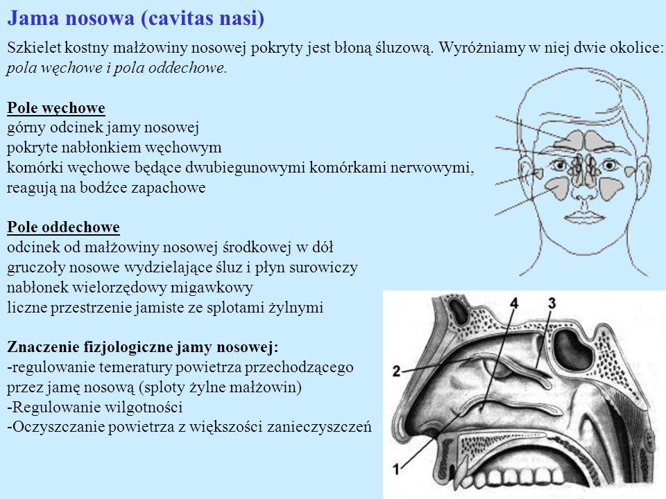 Jama nosowa (cavitas nasi)