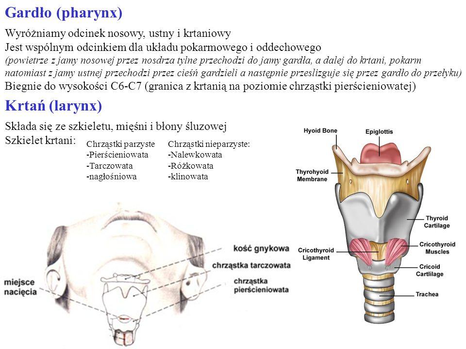 Gardło (pharynx) Krtań (larynx)