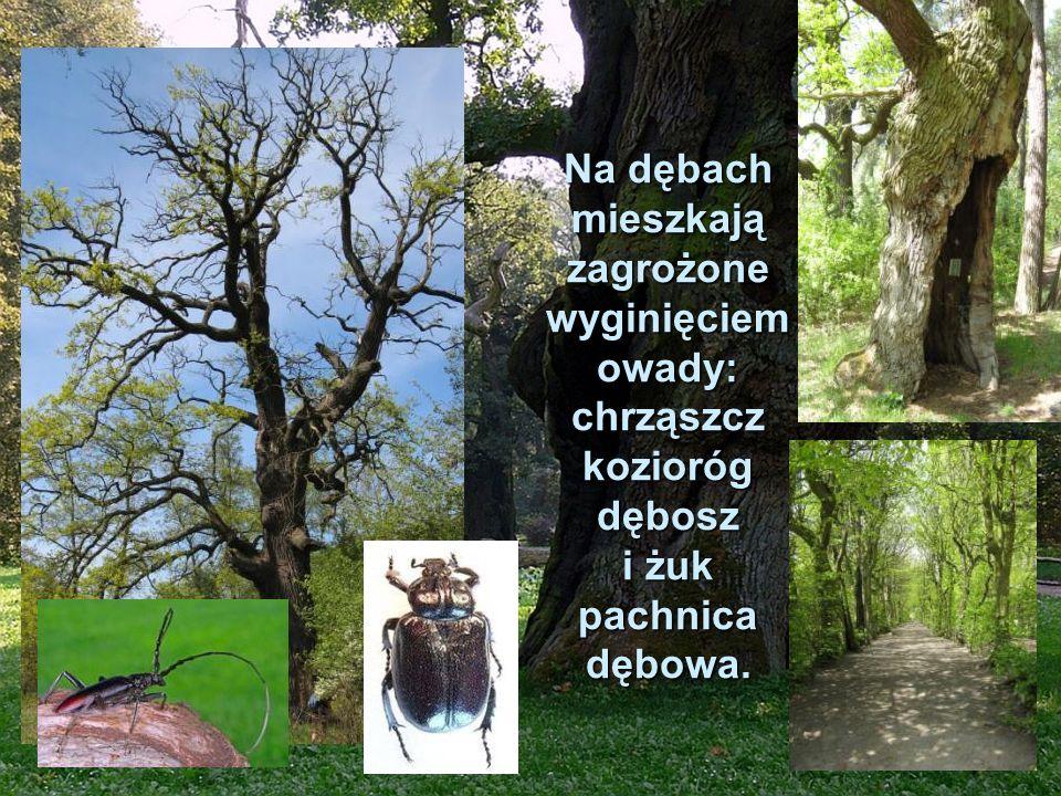 Na dębach mieszkają zagrożone wyginięciem owady: chrząszcz kozioróg dębosz i żuk pachnica dębowa.