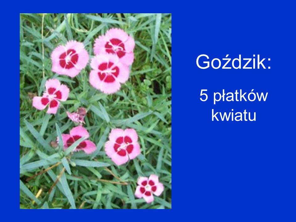 Goździk: 5 płatków kwiatu