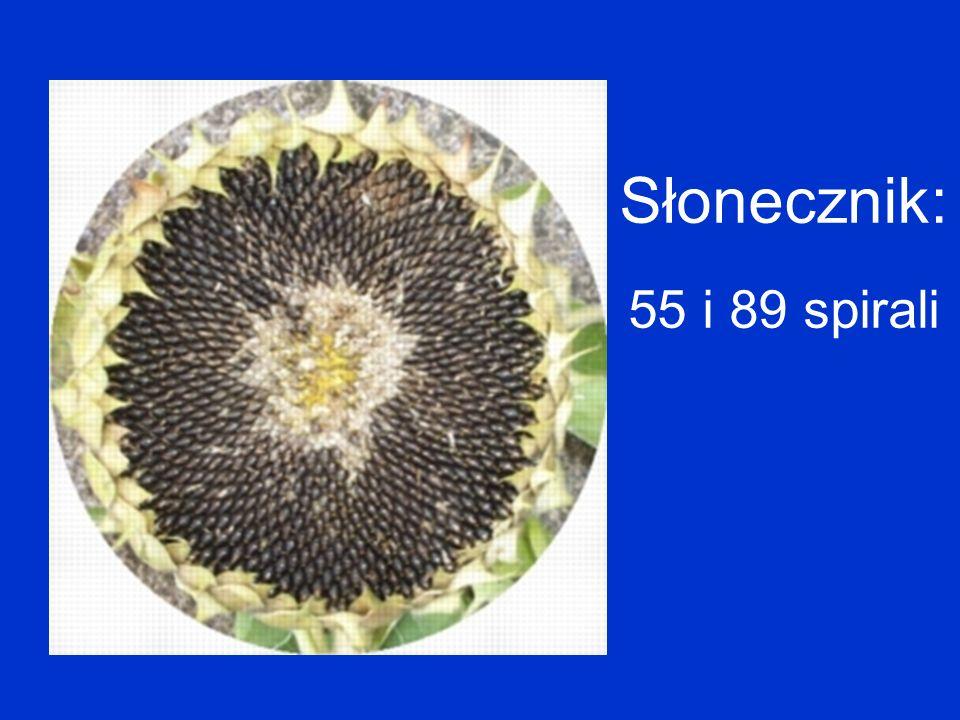 Słonecznik: 55 i 89 spirali