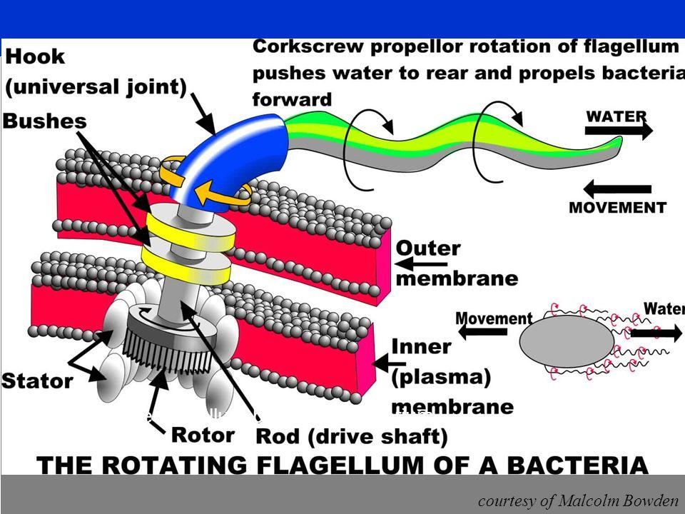 Das rotirende Flagellum beim Coli-Bakterium