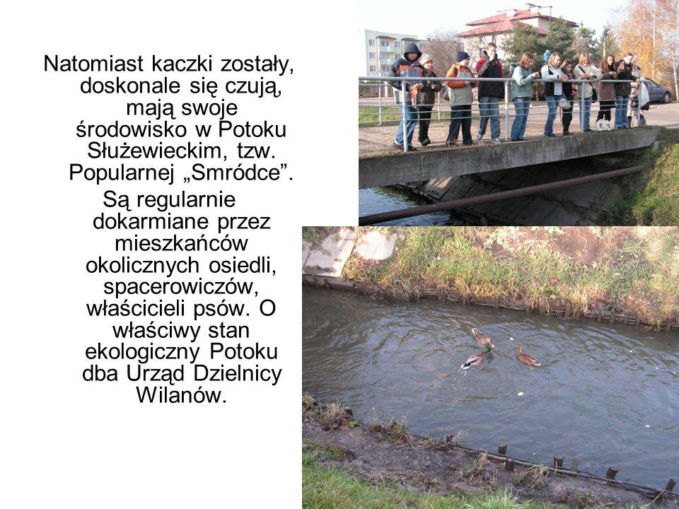 """Natomiast kaczki zostały, doskonale się czują, mają swoje środowisko w Potoku Służewieckim, tzw. Popularnej """"Smródce ."""