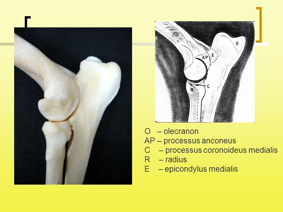 O – olecranon AP – processus anconeus. C – processus coronoideus medialis.