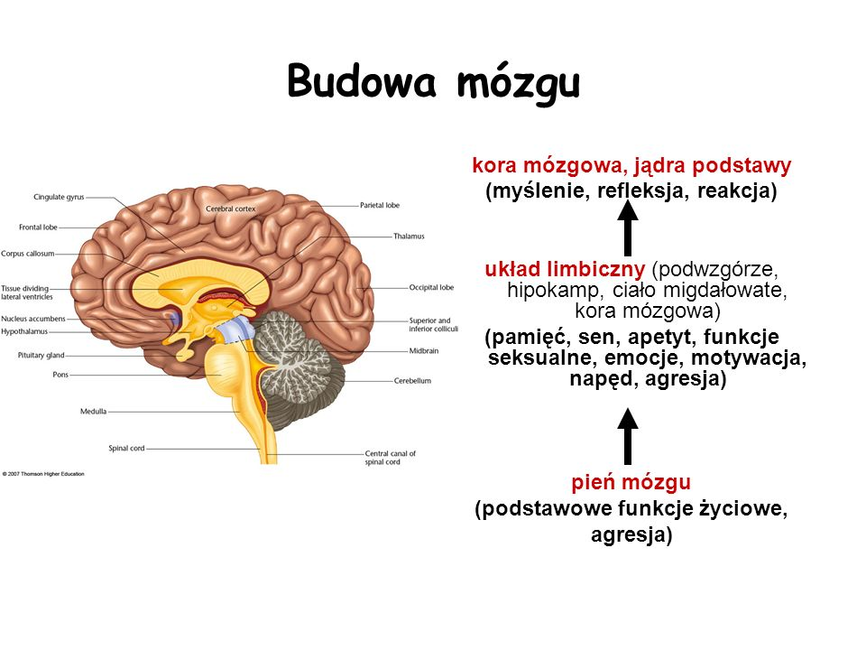 Budowa mózgu kora mózgowa, jądra podstawy