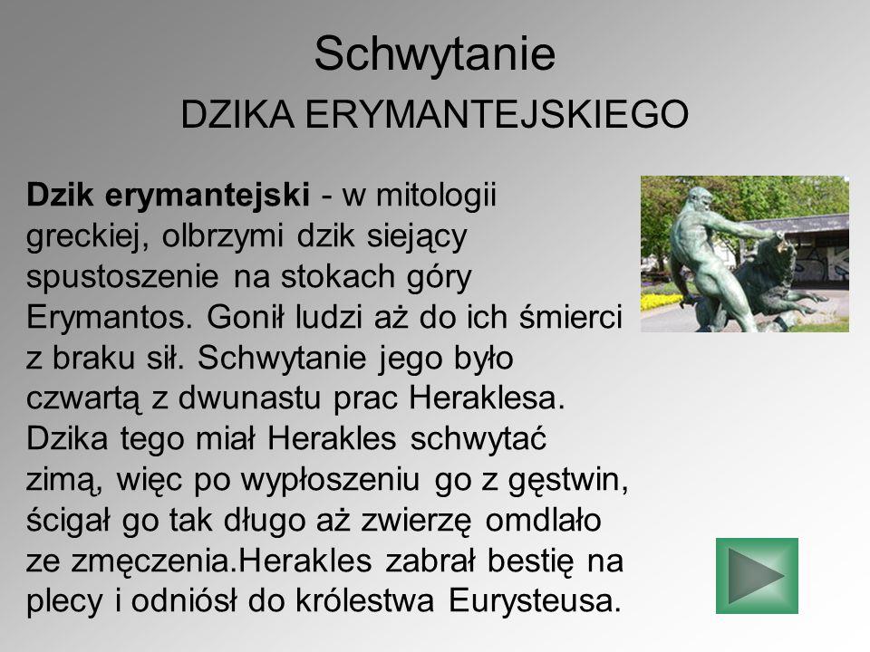 Schwytanie DZIKA ERYMANTEJSKIEGO