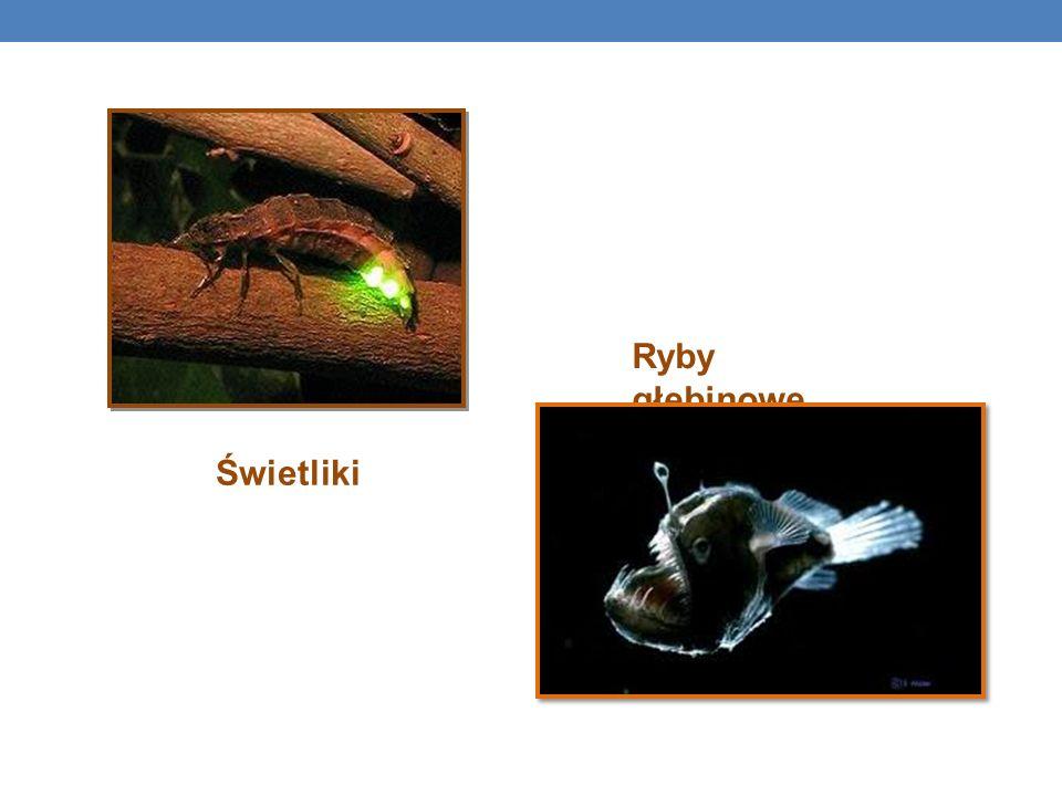 Ryby głębinowe Świetliki