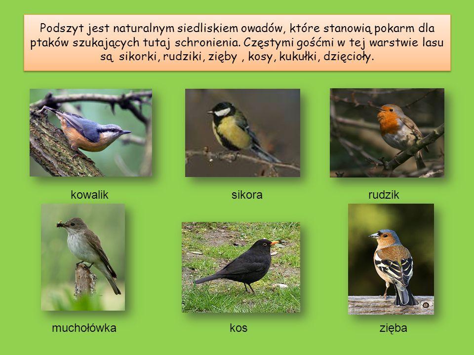 Podszyt jest naturalnym siedliskiem owadów, które stanowią pokarm dla ptaków szukających tutaj schronienia. Częstymi gośćmi w tej warstwie lasu są sikorki, rudziki, zięby , kosy, kukułki, dzięcioły.