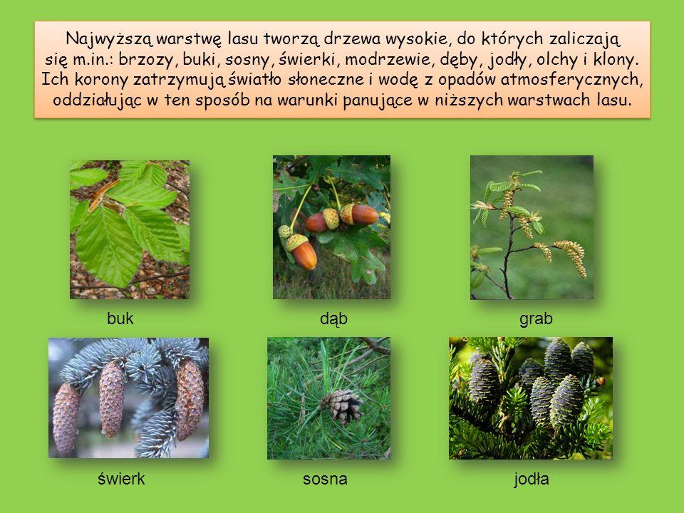 Najwyższą warstwę lasu tworzą drzewa wysokie, do których zaliczają się m.in.: brzozy, buki, sosny, świerki, modrzewie, dęby, jodły, olchy i klony. Ich korony zatrzymują światło słoneczne i wodę z opadów atmosferycznych, oddziałując w ten sposób na warunki panujące w niższych warstwach lasu.